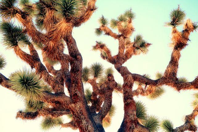 JOSHUA TREE - ABSTRACT