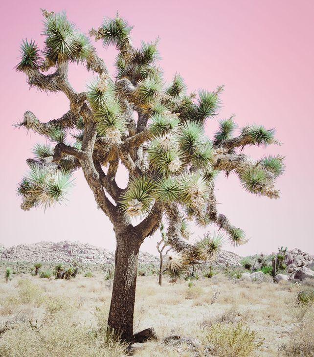 JOSHUA TREE - PINK