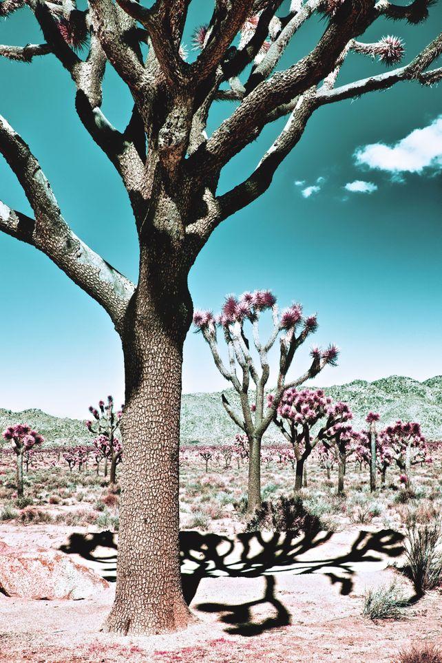 SHADOWS, JOSHUA TREE