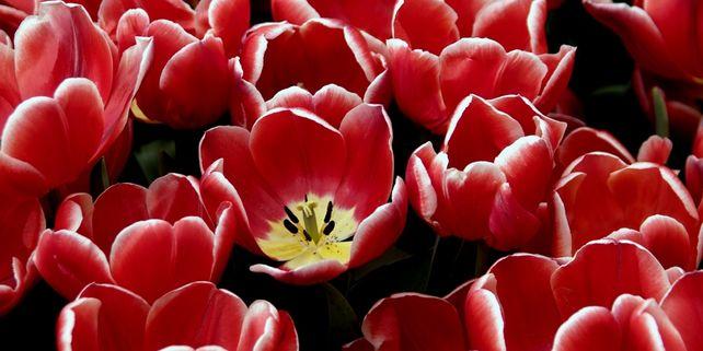 Tulip #4