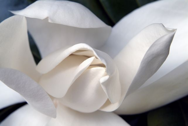 Magnolia #5