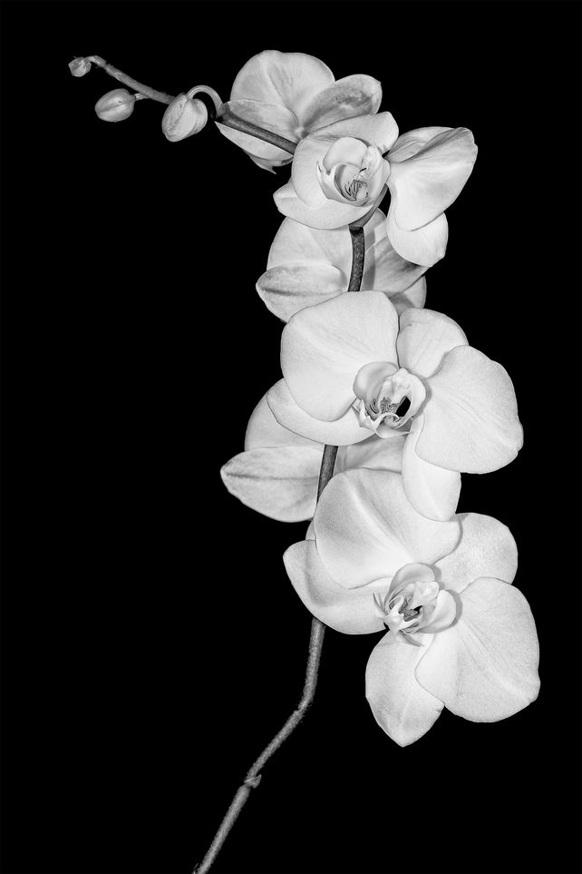 Orchid study in Black & White
