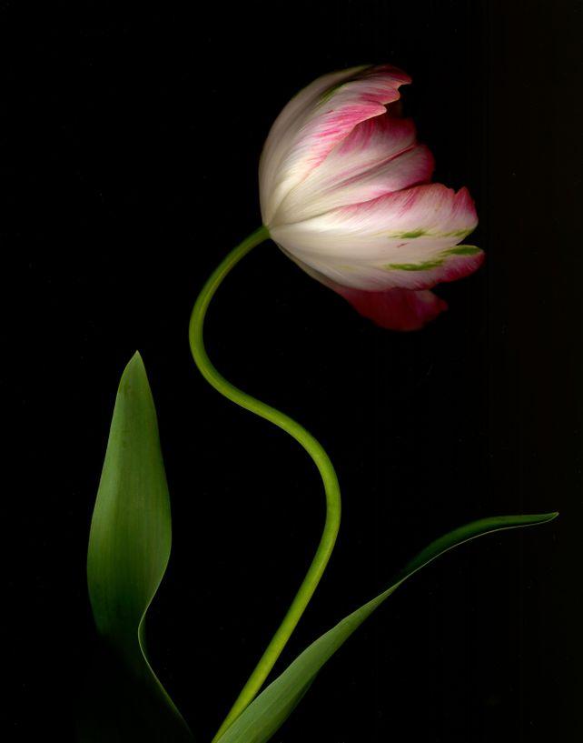 Tulip 'Weber's Parrot' #2