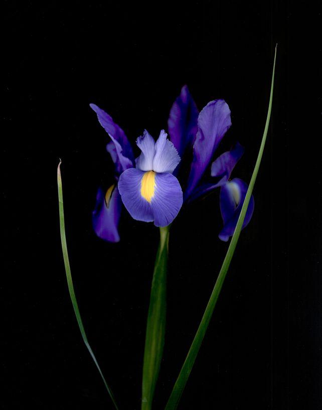 Iris xiphium 'Blue Magic'